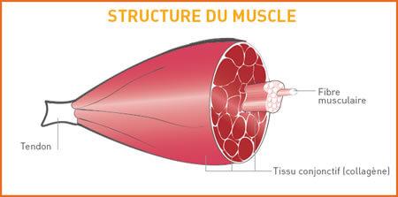 structure-du-muscle