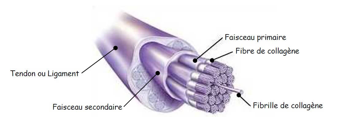 structure tendon - ligament